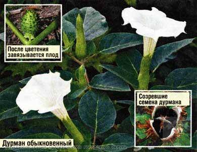Лечебные свойства растения дурман обыкновенный, безопасное применение