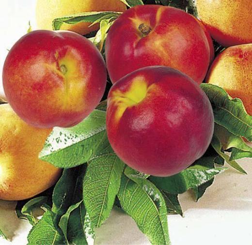 Гибрид персика и сливы уникум