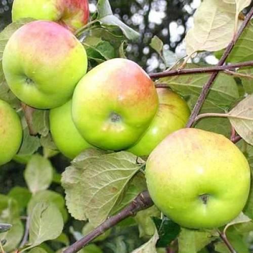 Яблоня роялти