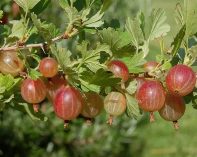 Крыжовник: посадка и уход в открытом грунте весной, преимущества