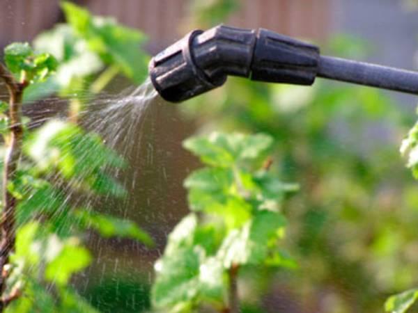 Уход за крыжовником весной: обрезка, подкормка, полив и мульчирование