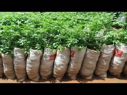Картофель в бочке – максимальный урожай с минимальной площади