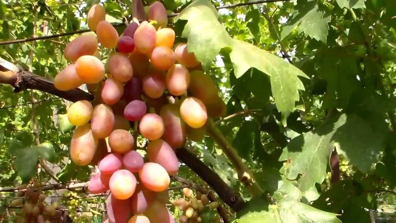 Виноград «преображение»: подробное описание сорта, фото, отзывы