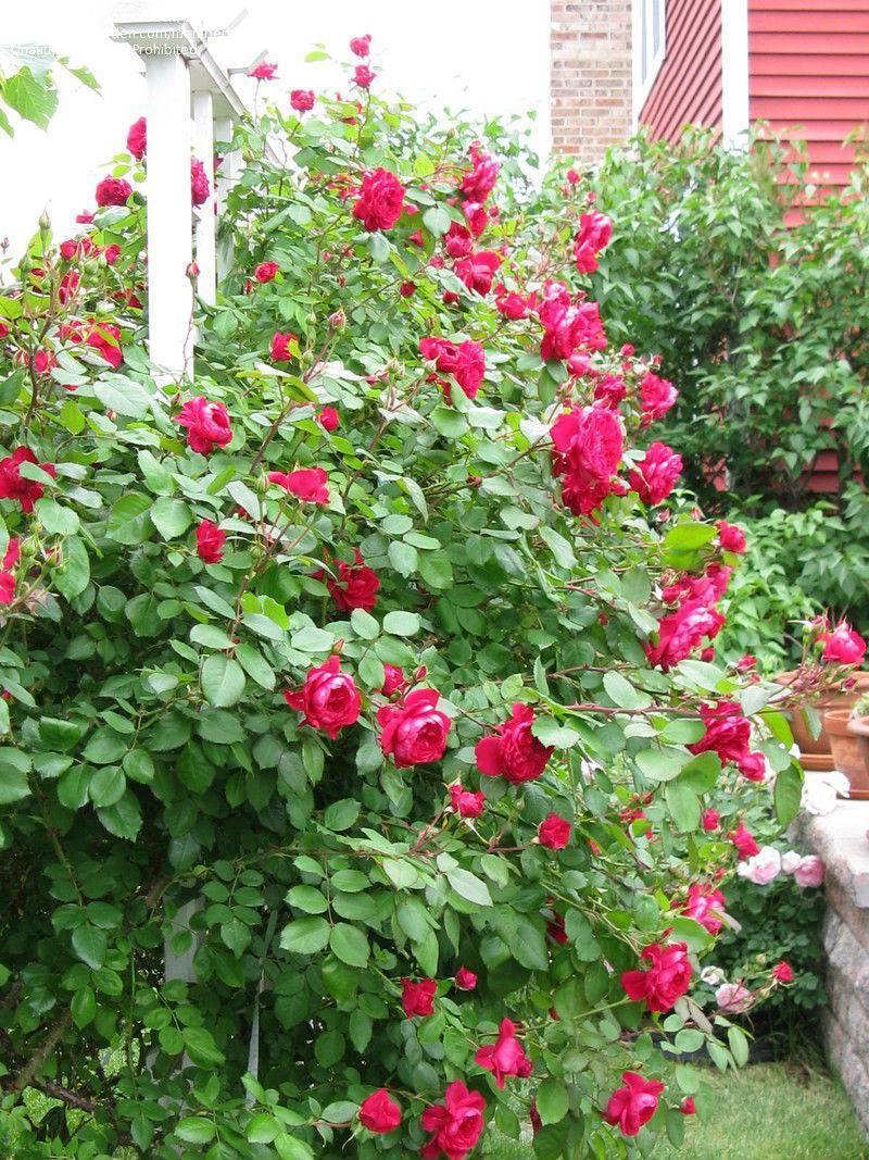 Роза грандифлора (grandiflora)