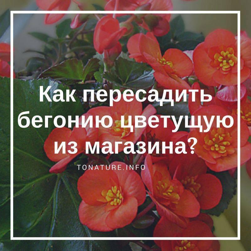 Как пересадить бегонию? пошаговая пересадка бегонии после покупки в домашних условиях. если цветок после пересадки вянет, что делать и как правильно ухаживать за ним?