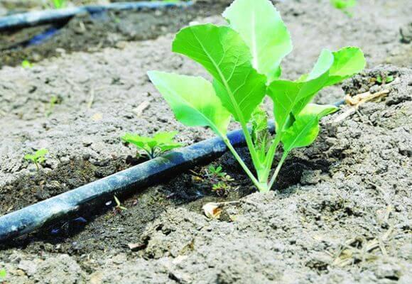 Нужно ли поливать капусту в августе. основные правила и нормы полива капусты в открытом грунте