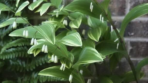 Polygonatum stenophyllum maxim. описание таксона