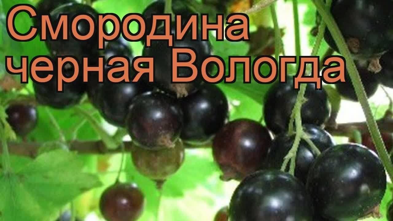 Черная смородина вологда: описание, посадка + фото и отзывы