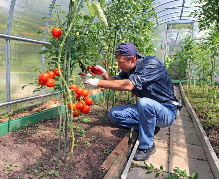 Удаление листьев на кусте томата – за и против