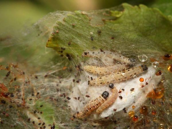 Эффективные способы борьбы с паутиной на яблоне