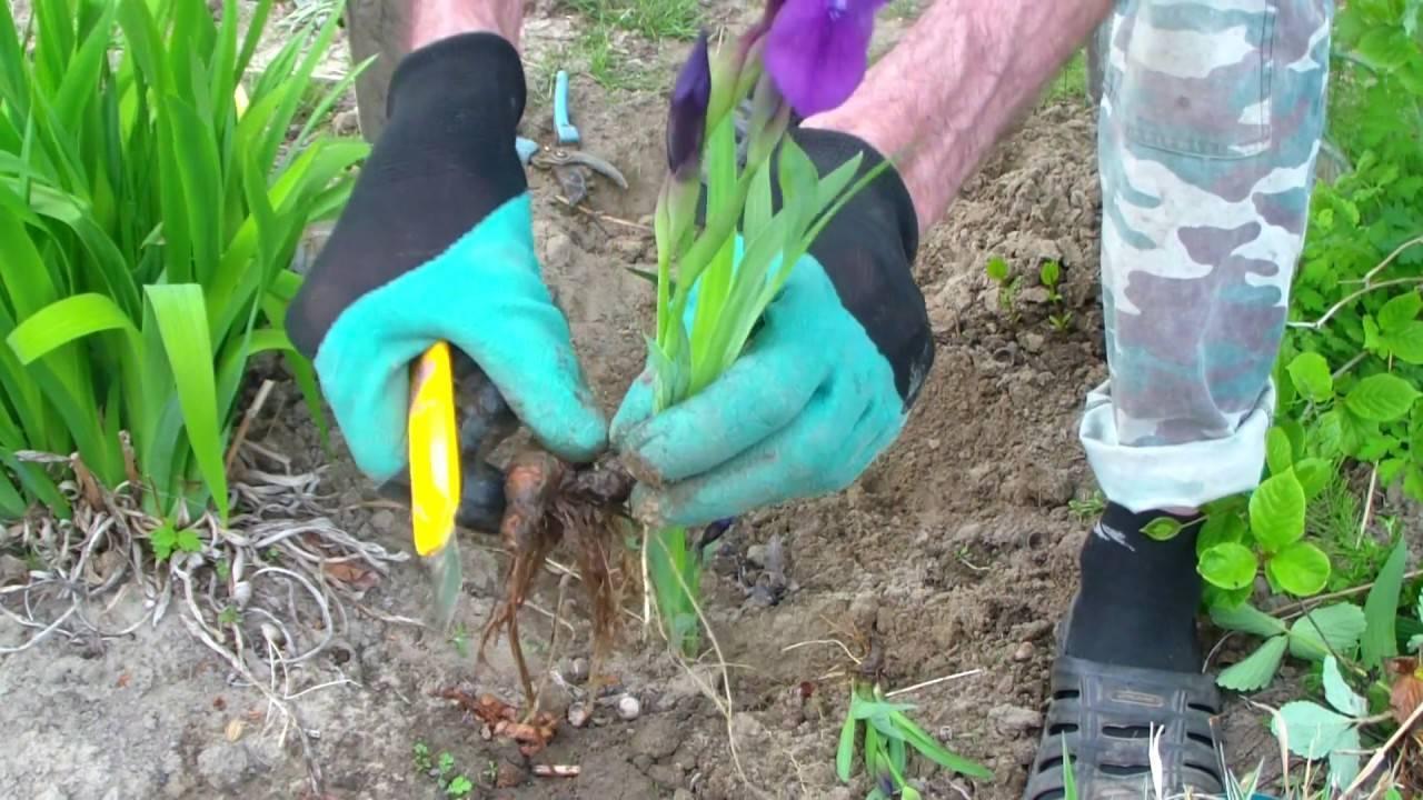 Размножение ирисов (20 фото): как размножаются ирисы? как рассадить цветы весной и осенью? как размножить семенами и делением куста?