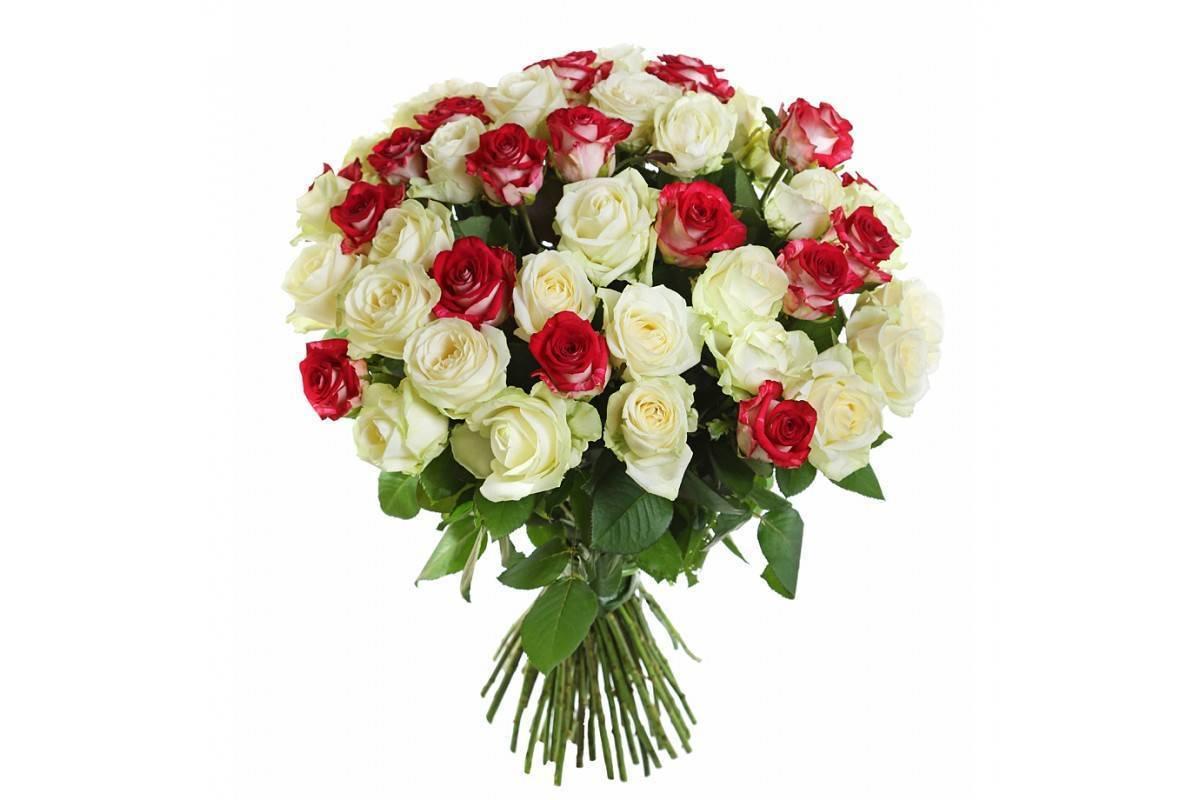 Роза блаш (blush) — описание и характеристики сорта