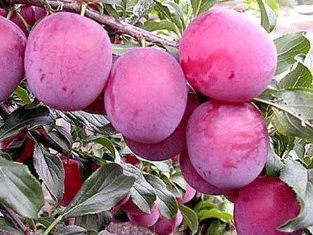 Лучшие сорта ранней малины – фото, описания, советы по уходу