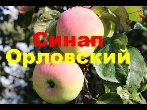 """Яблоня """"синап орловский"""": описание сорта и фото, меры борьбы с вредителями, уход и посадка"""