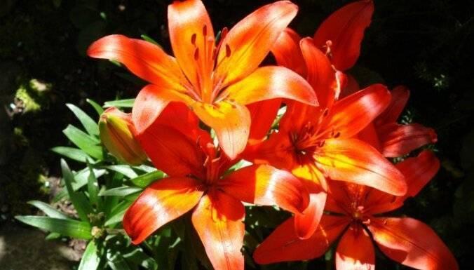 Лилия: посадка и уход, размножение - читайте на орхис