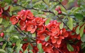 Хеномелес или айва японская – восточная гостья в вашем саду