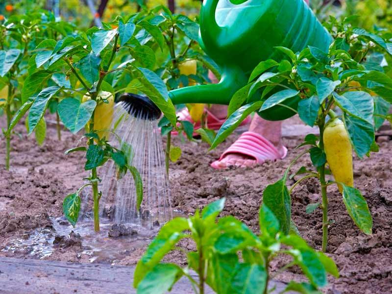 Этот требовательный перец: особенности выращивания и ухода в теплице из поликарбоната