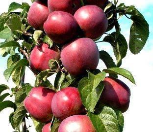 Особенности выращивания яблони сорта васюган