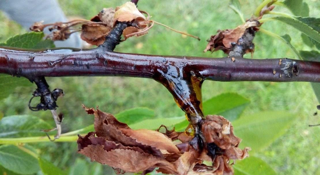 Борьба с коккомикозом вишни — чем лечить летом, как вылечить заболевание