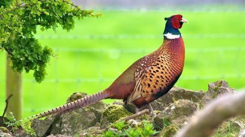 Как поймать фазана? многообразие ловушек