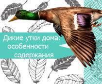 Что едят утки в природе и в домашних условиях?