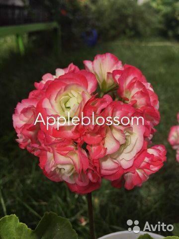Пеларгонии appleblossom: описание разновидностей и выращивание