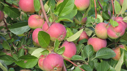 Всеми любимые сорта яблок, которые исчезают из наших садов