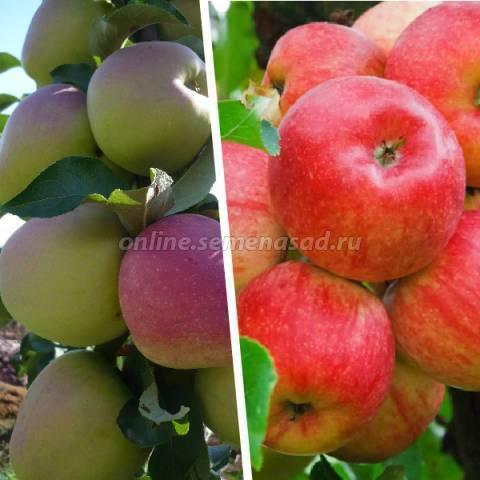 Преимущества выращивание яблони сорта кандиль орловский