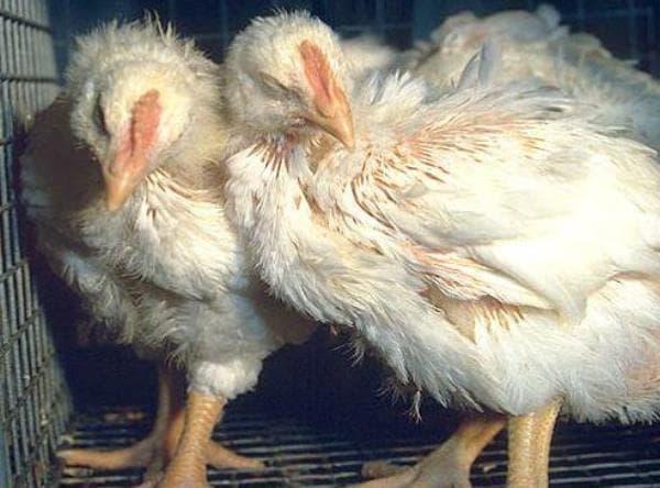 Учимся лечить кокцидиоз у цыплят самостоятельно - общая информация - 2020
