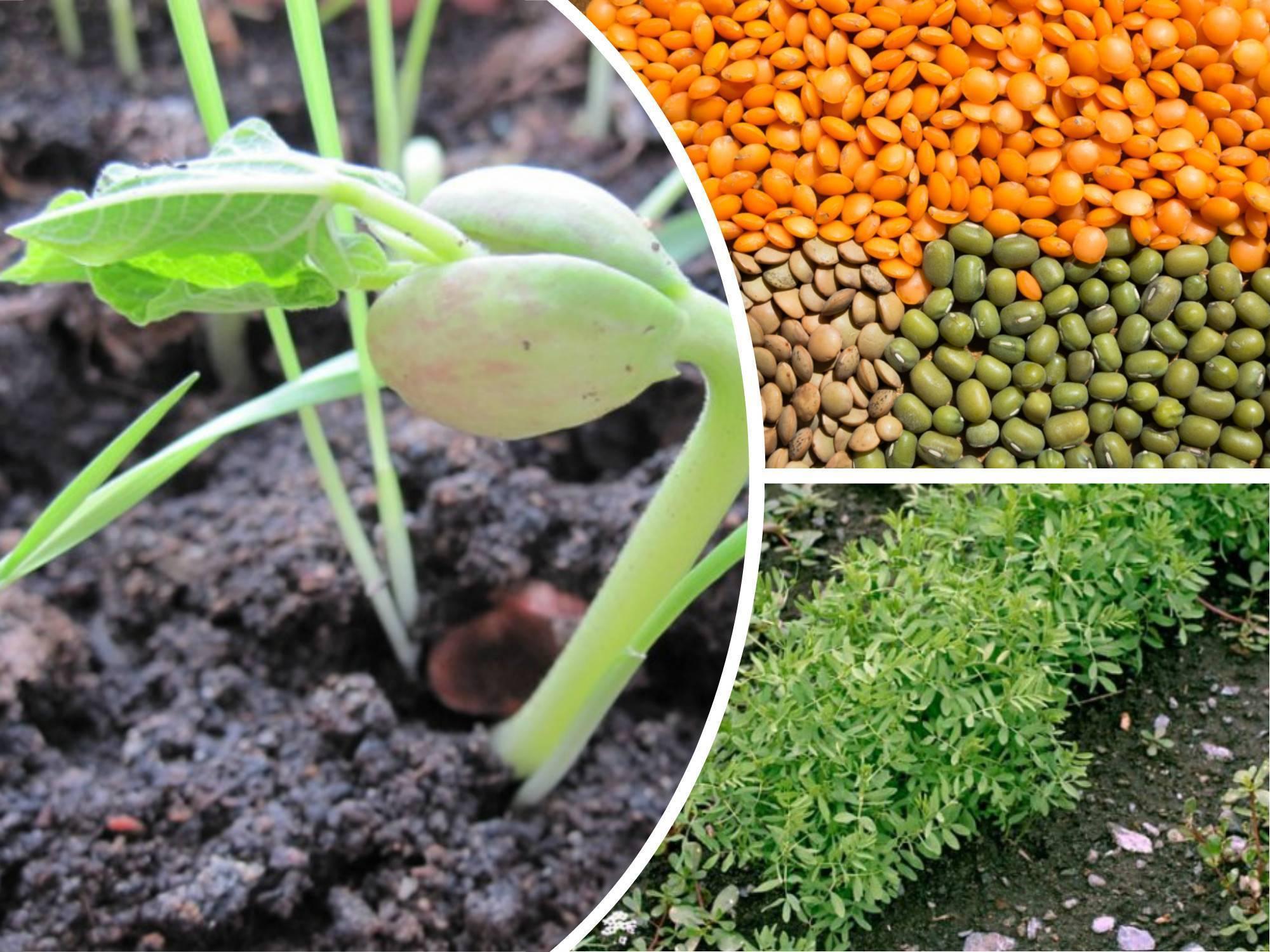 Выращивание чечевицы в украине: рекомендации ведущего мирового экспортера