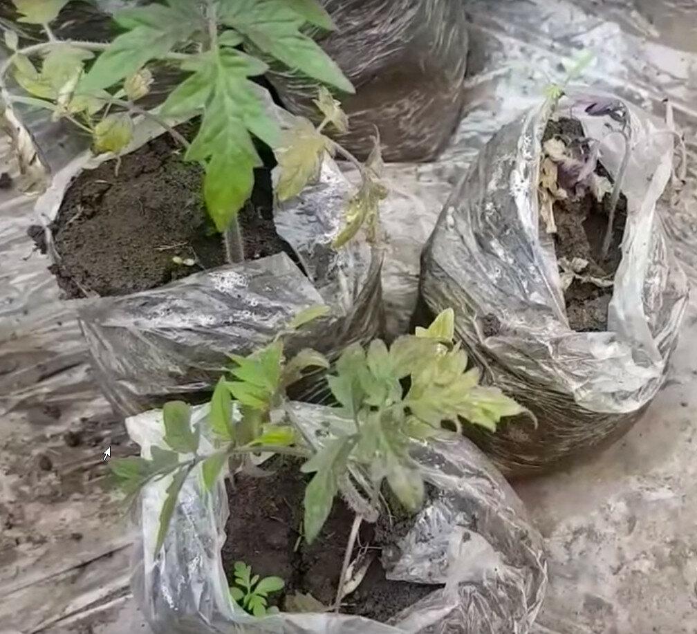 Как и когда высаживать рассаду капусты в открытый грунт на постоянное место