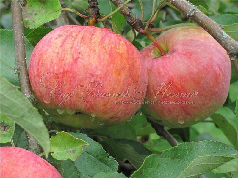 Характеристики и описание сорта яблонь коричное полосатое, история и особенности выращивания