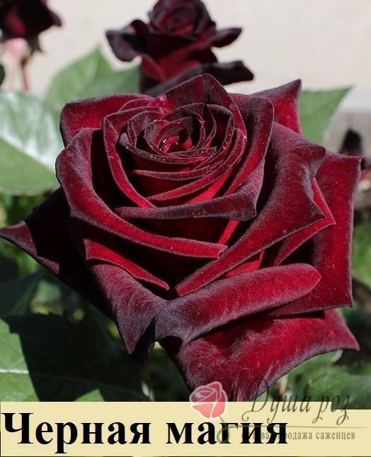 Роза black magic — описание сорта и особенности ухода