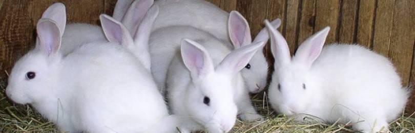 Чем кормить крольчих после окролов чтобы было молоко: рацион питания кормящих