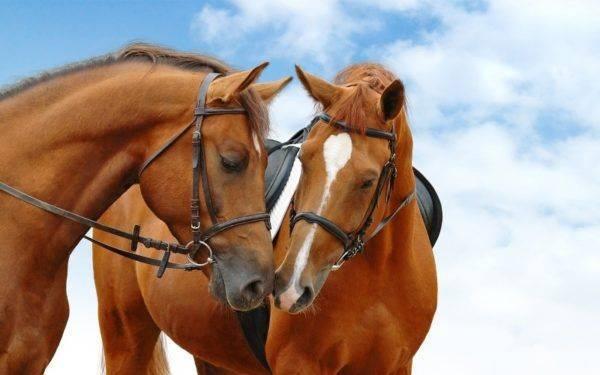 Конская упряжь: самые популярные виды сбруй для лошадей