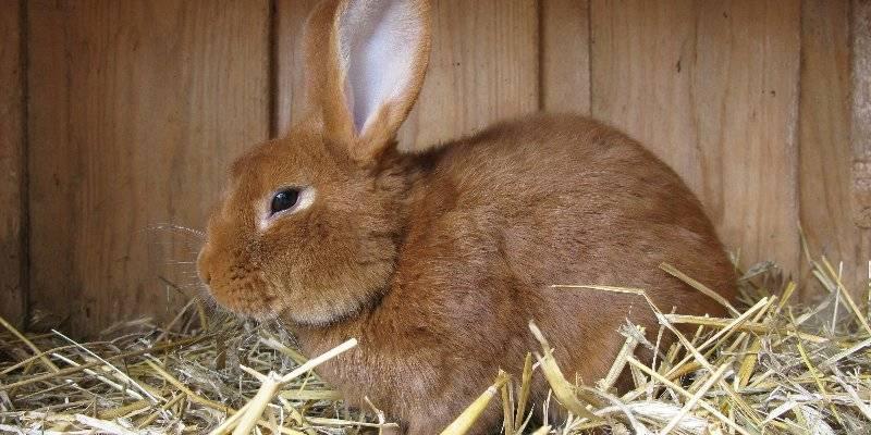 Вирусная гемморагическая болезнь кроликов
