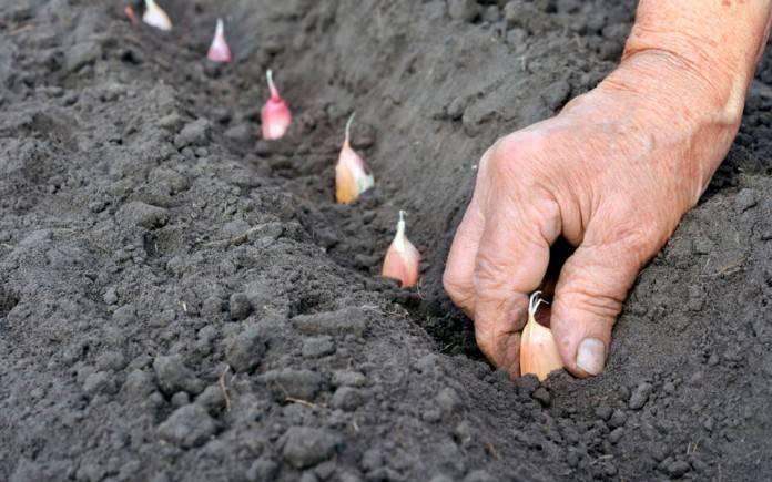 Как посеять яровой чеснок в открытом грунте весной: посадка и уход за растением