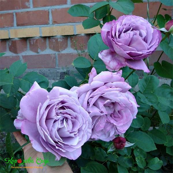 Плетистая роза «клайминг» (25 фото): описание роз «индиголетта», «глория дей», «аполло», «критерион» и «кимоно». отличия клаймберов и рамблерлов