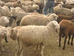 Разведение баранов: где содержать и какую породу выбрать