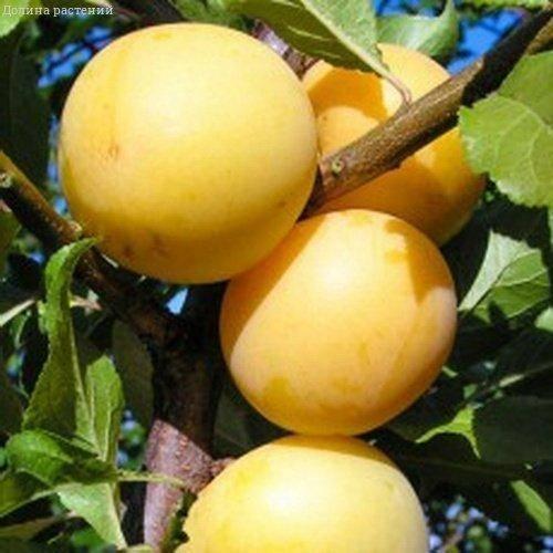 Особенности выращивания слив сорта стартовая
