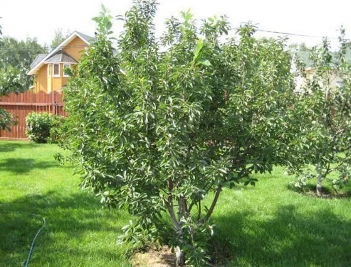 Черные сорта вишни