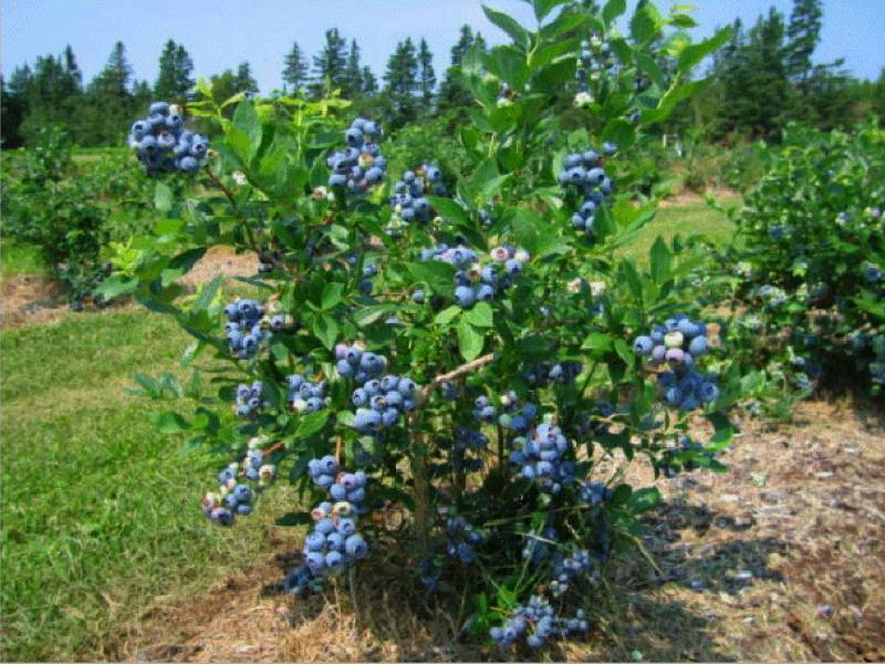 Условия выращивания садовой черники