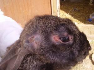 Болезни кроликов симптомы и лечение