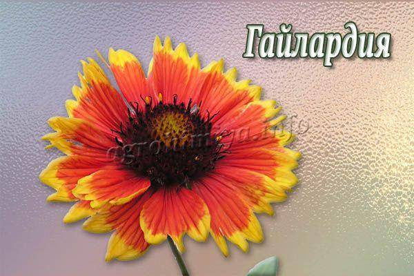 Гайлардия: описание, особенности выращивания из семян, фото