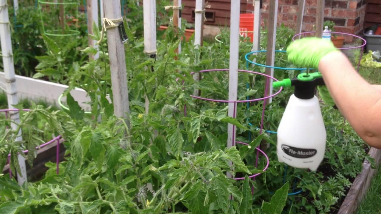 Как развести борную кислоту для опрыскивания томатов, применение борной кислоты для томатов