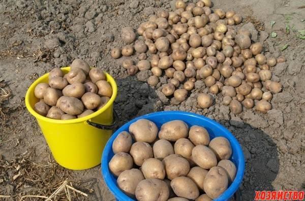 Картофель синеглазка: описание сорта, уход, особенности и отзывы - общая информация - 2020