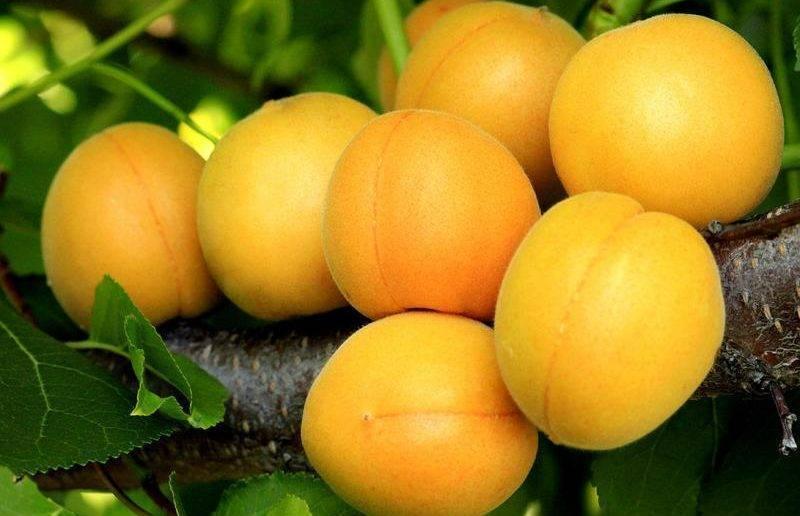 Об абрикосе Медовый: описание и характеристики сорта, посадка, уход, выращивание