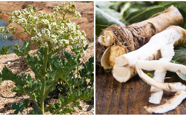 Какие свойства у корня хрена? рецепты приготовления целебных средств из растения