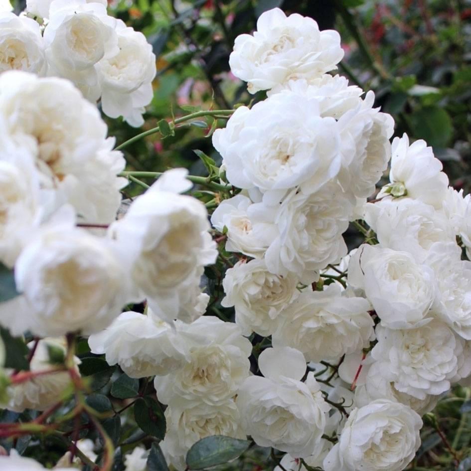 Парковые розы, виды и сорта, описание, фото, условия выращивания и ухода.