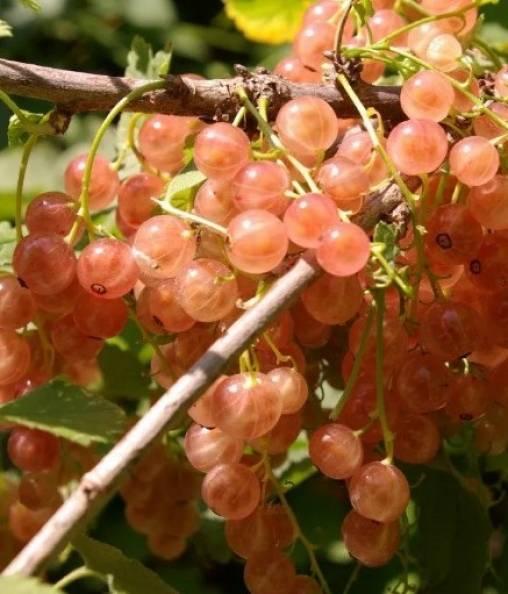 Розовая голландская смородина – королева российского сада
